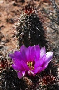 hedgehog cactus toroweap