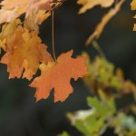 maple oak leaves